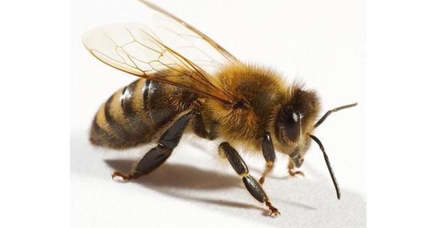 Arı can aldı