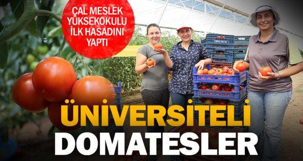 PAÜ'nün Çal'daki uygulama alanında ilk domates hasadı