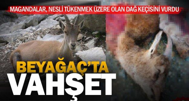 Kaçak avcılar; Koruma altındaki dağ keçisini vurdu