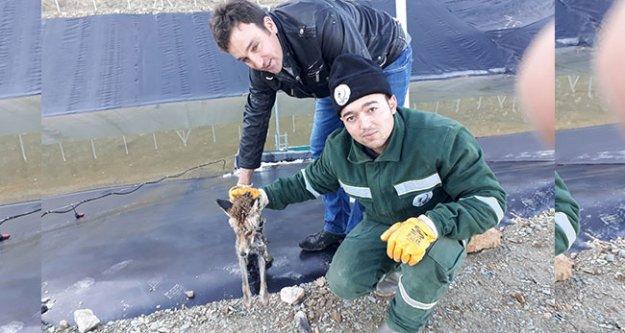 Çal'da zabıta donmak üzere olan tilkiyi kurtardı