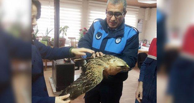 Sarayköy'de yaralı şahin bulundu