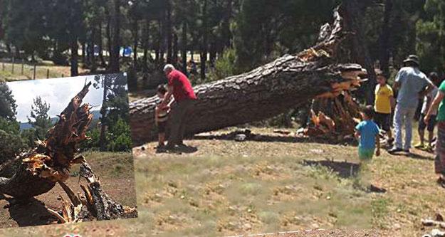Piknik alanında ağaç devrildi