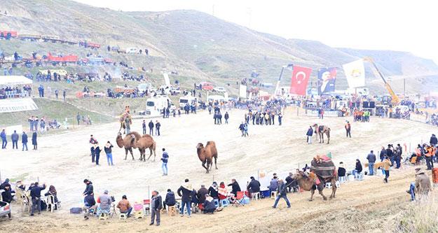 Pehlivan develer pazar günü Sarayköy arenasında buluşuyor