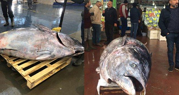 Denizli'de 450 kilogramlık orkinos ilgi odağı oldu