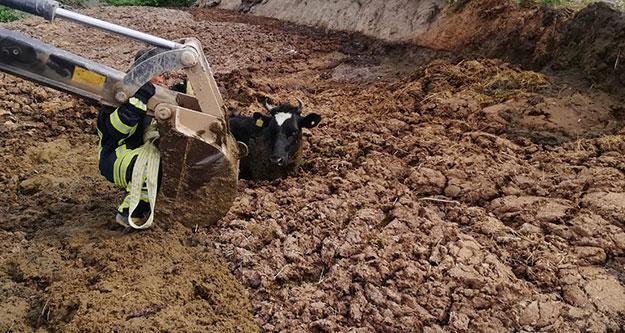 Hayvan gübresine gömülen ineği itfaiye kurtardı