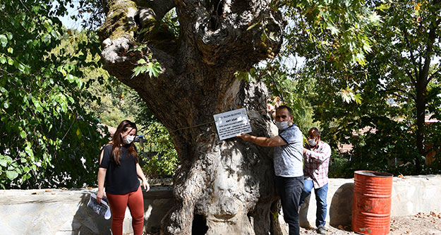 Çınar ağaçlarına 'anıt ağaç' levhası