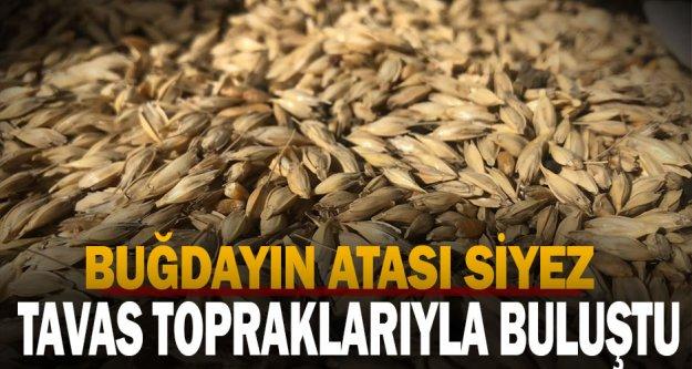 Buğdayın atası Siyez Tavas topraklarıyla buluştu