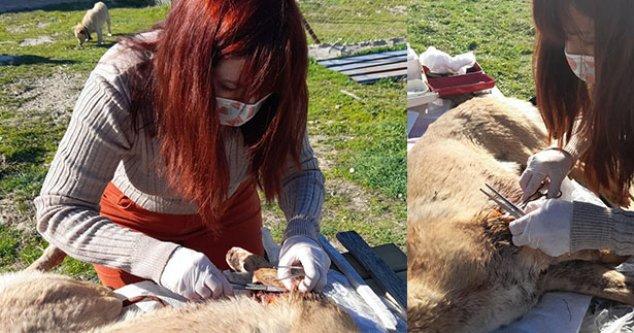 Yaralı köpeğe, Buldan Belediyesi sahip çıktı
