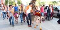 Koyunlar 'çınara çıkıyor