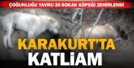 Karakurtta yavru köpekleri zehirlediler