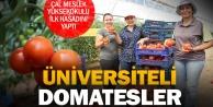 PAÜnün Çaldaki uygulama alanında ilk domates hasadı