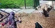 Köpek, 4 bin liralık koyuna saldırdı