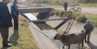Su kanalına düşen ineği zabıta kurtardı