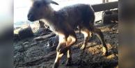 Buldan'da 5 bacaklı kuzu dünyaya geldi