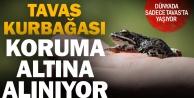 Nesli tehlike altında olan Tavas kurbağası için seferberlik ilan edildi