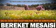 Üzüm mesaisindeki Çallılar hafta sonu hasat şenliğinde buluşacak