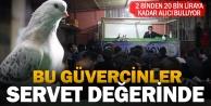 Güvercinler mezatla binlerce liraya satılıyor