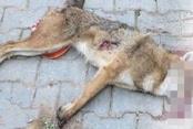 Öldürülen çakal kuduz çıktı